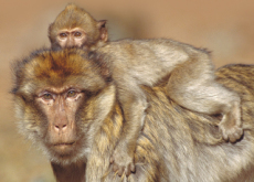 A Tough Childhood Means a Short Life for Baboons - Science
