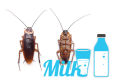 Cockroach Milk Does the Body Good - World News