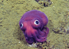 The World's Most Famous Squid! - Hot Issue
