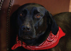 Midnight, A Heroic Canine - What's Trending
