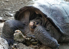 Giant Tortoise Discovered In The Galapagos - World News