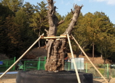 Korea's Largest Paper Mulberry in a New Home - National News