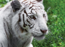 Interesting Facts About White Tigers - Science