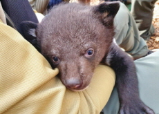 The Birth of Six Asiatic Black Bear Cubs - National News