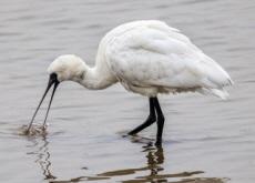 A New Habitat for Black-Faced Spoonbills - National News