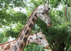 Everland Zoo's Superstar Giraffe - National News