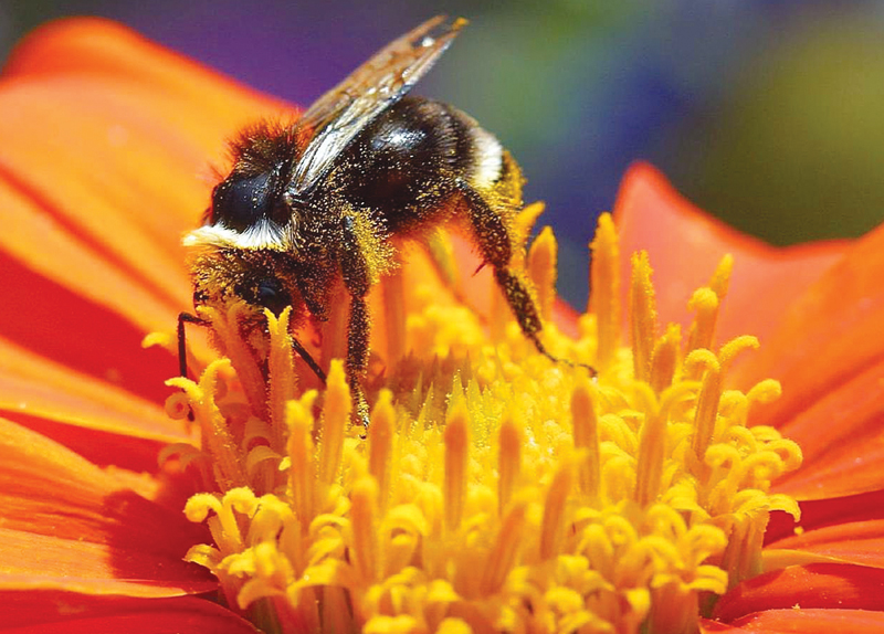 Bumble Bee Placed On U.S. Endangered List0