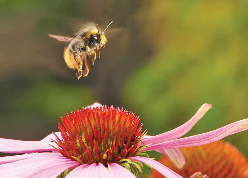 Bumble Bee Placed On U.S. Endangered List4