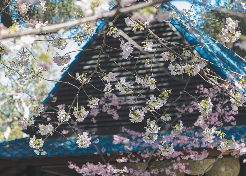 Descanso Gardens Cherry Blossom Festival0