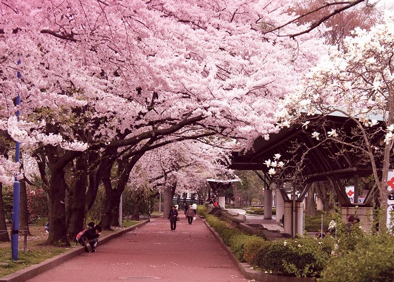 Cherry Blossom Festivals In Japan