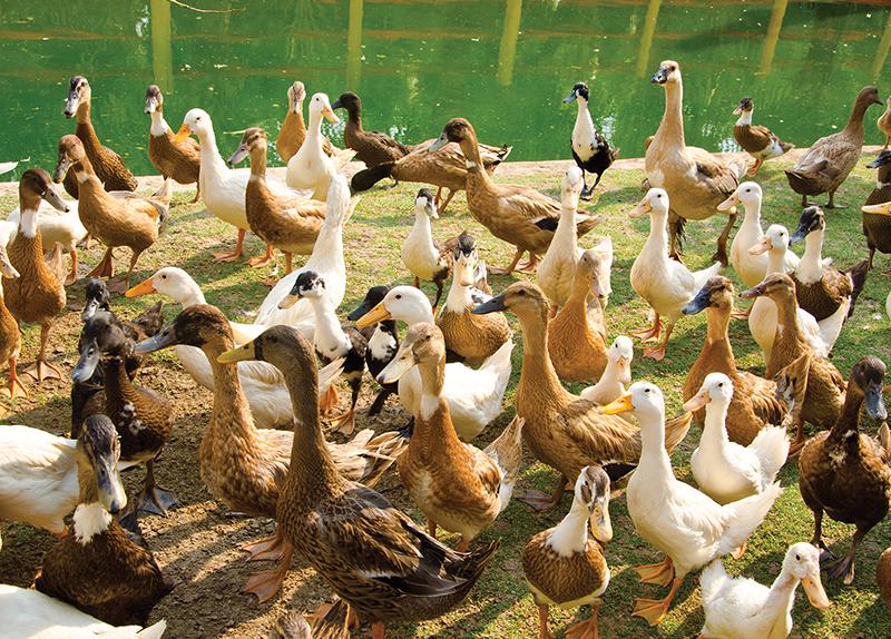 Ducks Sent to Tackle Locusts0