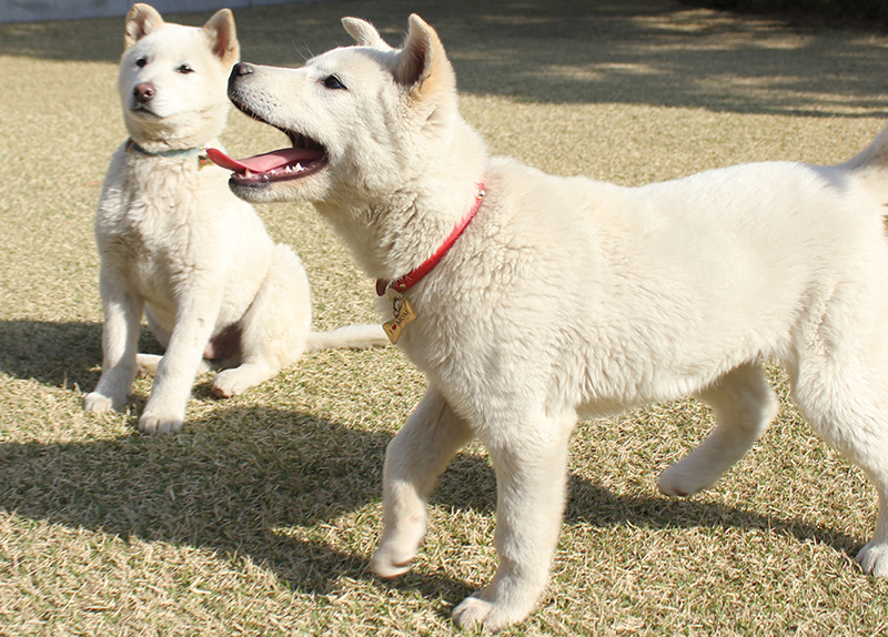 Are Jindo Dogs More Courageous Than Other Breeds?0