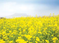 Jeju Canola Flower Festival - Let`s Go