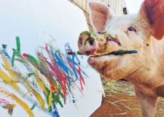 Pigcasso: The Painting Pig - Aha!
