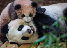 The First Panda In France - Aha!