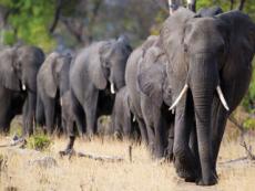 Moving 200 Elephants - Focus