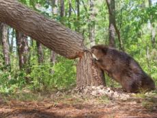 Characteristics Of Beavers - Science