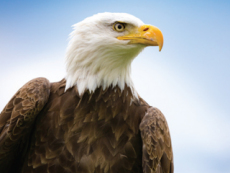 Characteristics Of Eagles - Science