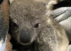 Saving A Baby Koala - World News