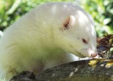 Albino Marten Found In Seoraksan National Park - Aha!