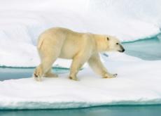 Characteristics Of Polar Bears - Science
