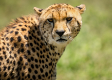 Characteristics Of Cheetahs - Science