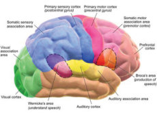 The Brain Consumes The Most Calories - Aha!