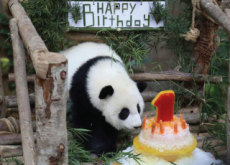 A Giant Panda's First Birthday - World News