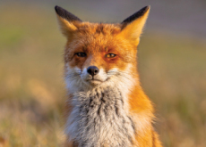 Characteristics Of Foxes - Science