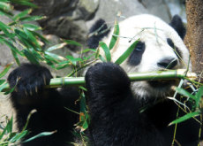 Were Pandas Really Carnivores Before? - Aha!