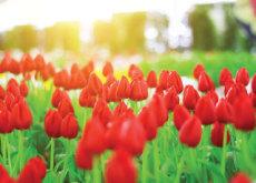 Everland Tulip Festival - Let's Go