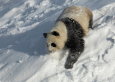 Why Do Pandas Have Black and White Fur? - Aha!