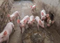 ASF Could Kill Many Pigs in China - World News