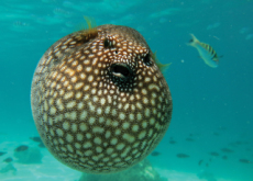 The Poison of Puffer Fish - Aha!