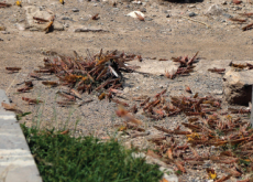 Korea to Help Countries Affected by Locust Swarms - National News