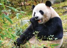 China: 'Giant Pandas Aren't Endangered Anymore' - Science