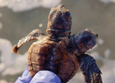 Two-Headed Turtle Discovered in South Carolina - World News