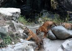 Everland Unveils Rare Quintuplet Tiger Cubs - National News