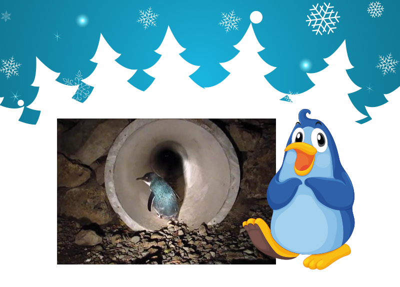 New Zealand's First Penguin Tunnel