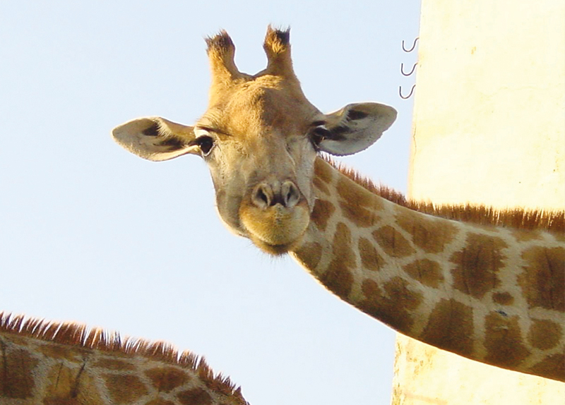 Goodbye Giraffe?0