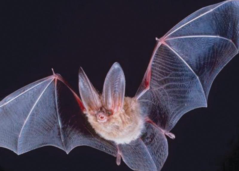 Bat Babble