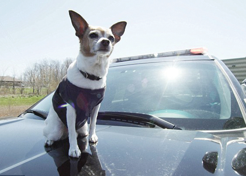 World's 1st Police Chihuahua