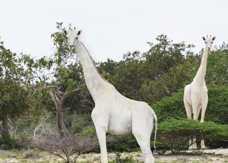 White Giraffes In Kenya