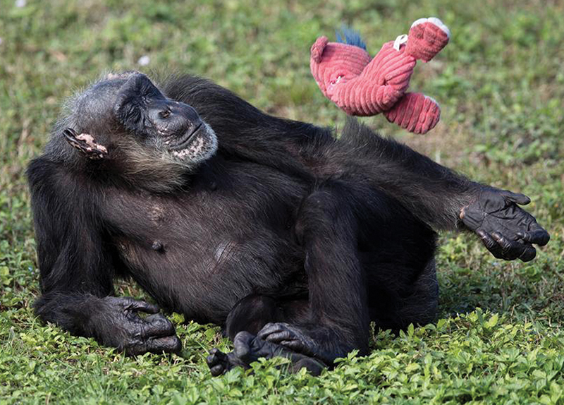 Death Of The World's Oldest Chimpanzee