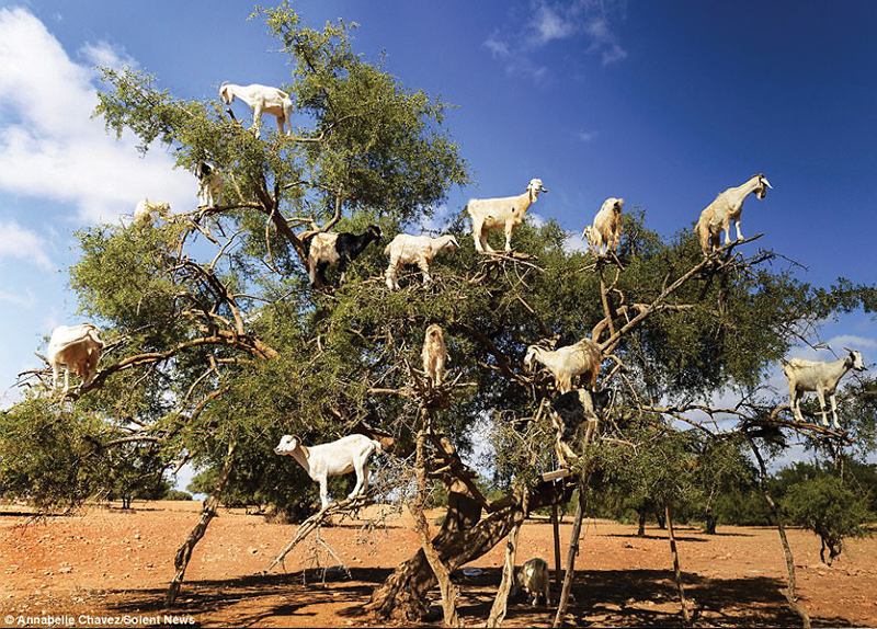 Goats In Morocco