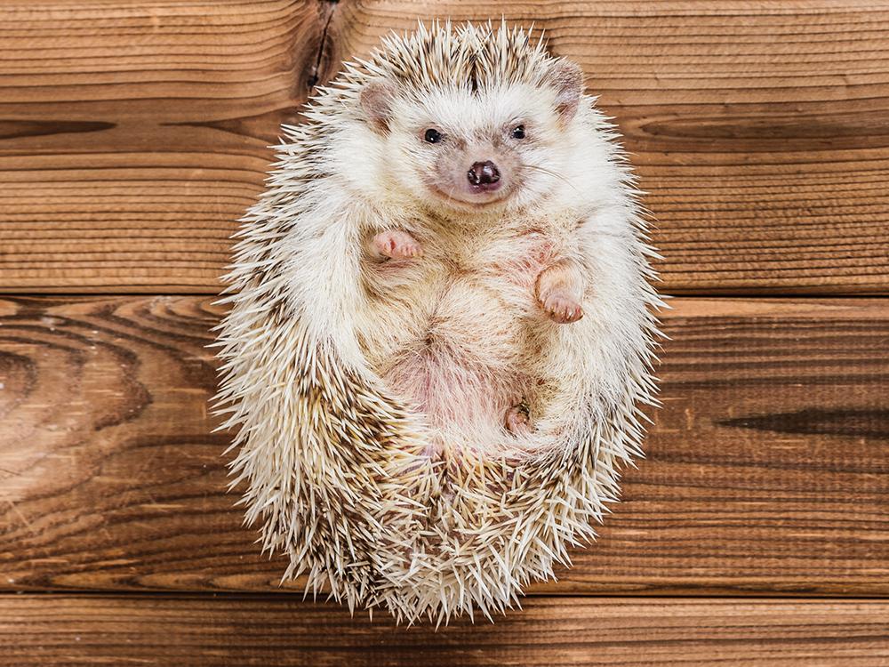 Characteristics Of Hedgehogs0