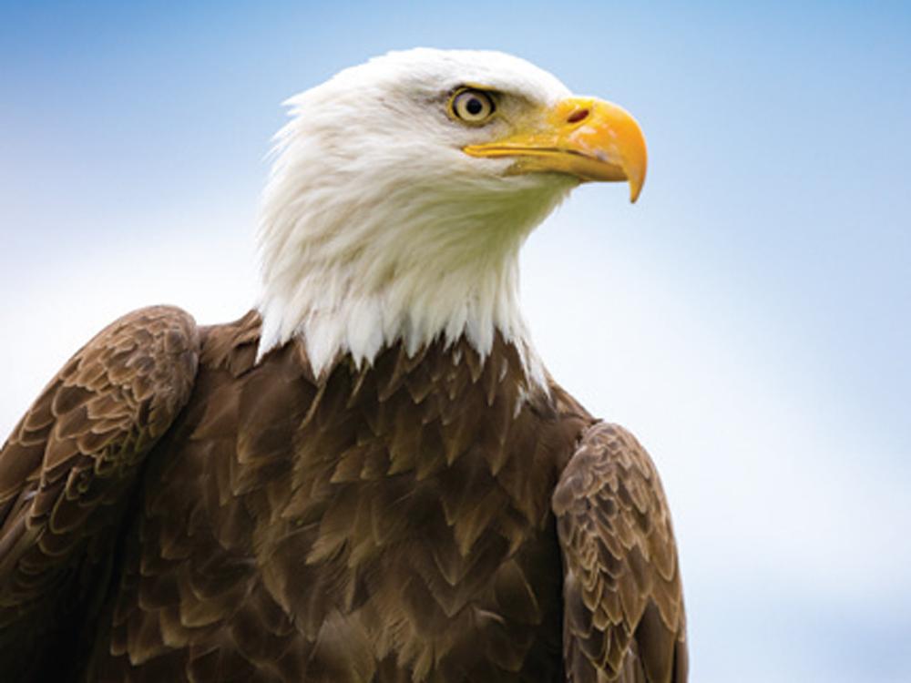 Characteristics Of Eagles