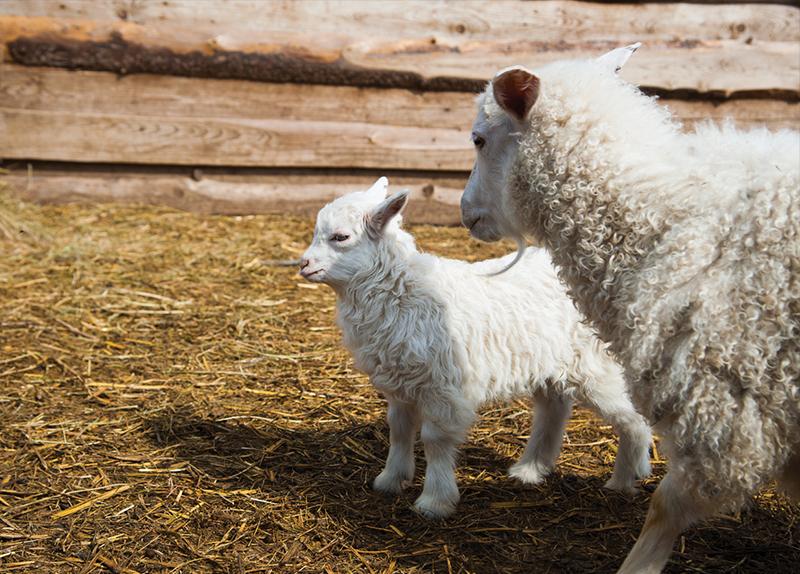 Characteristics Of Sheep0
