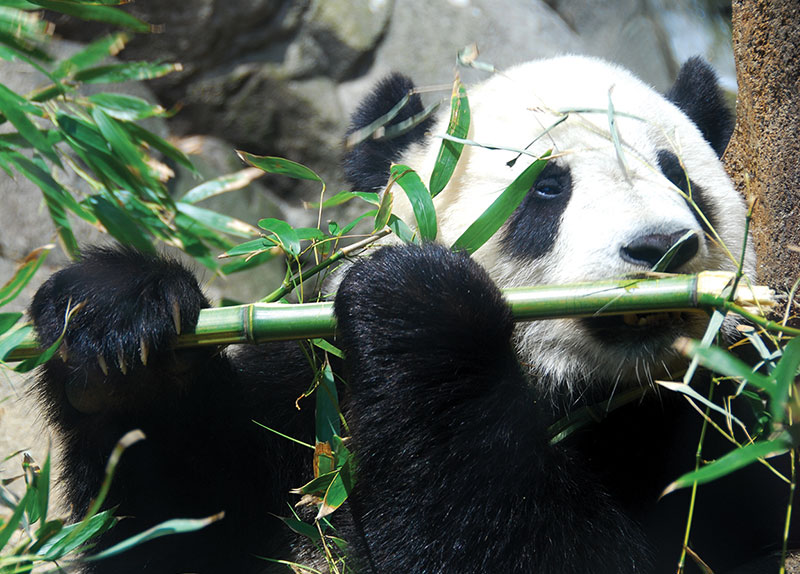 Were Pandas Really Carnivores Before?0