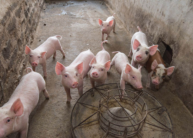 ASF Could Kill Many Pigs in China0
